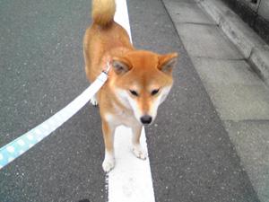 お散歩なのに乗り気じゃないねえ、キツネ君(?)
