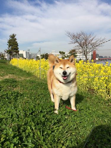 菜の花は満開