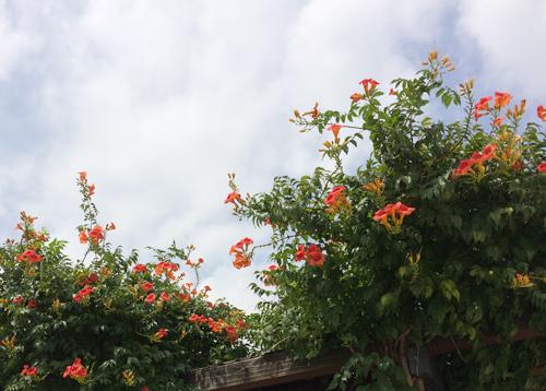 好きな花のひとつ。ノウゼンカズラ!