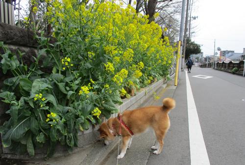 菜の花満開♪