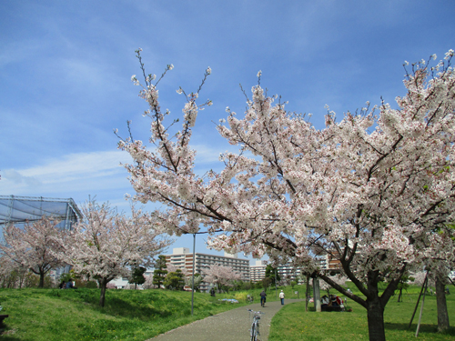 桜はやっぱり青空よね!